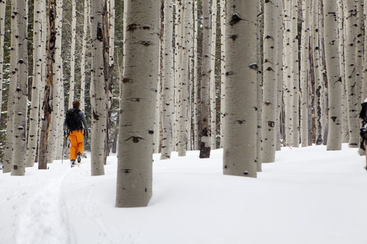 A man skins through some aspens in search of fresh snow.