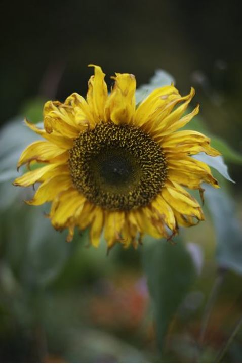 Autumn; leaf; Stockholm; Sweden, flower, sunflower, yellow, garden, vinterviken, nature, morning, cold,