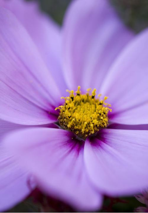 A close up picture of a purple flower