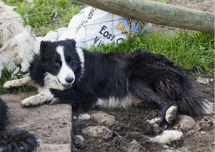 A dirty border collie resting on the ground