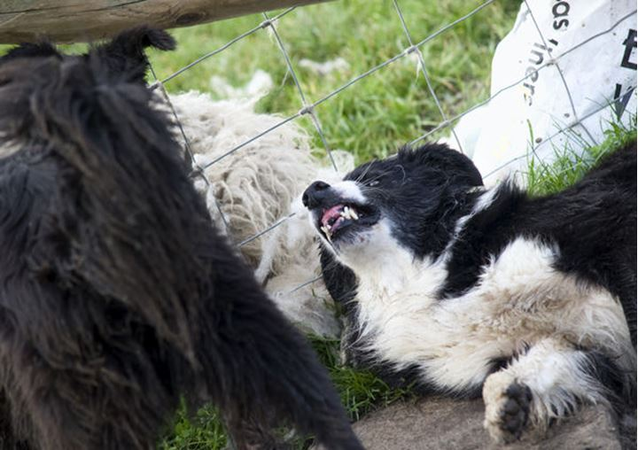 An angry border collie growling at another dog