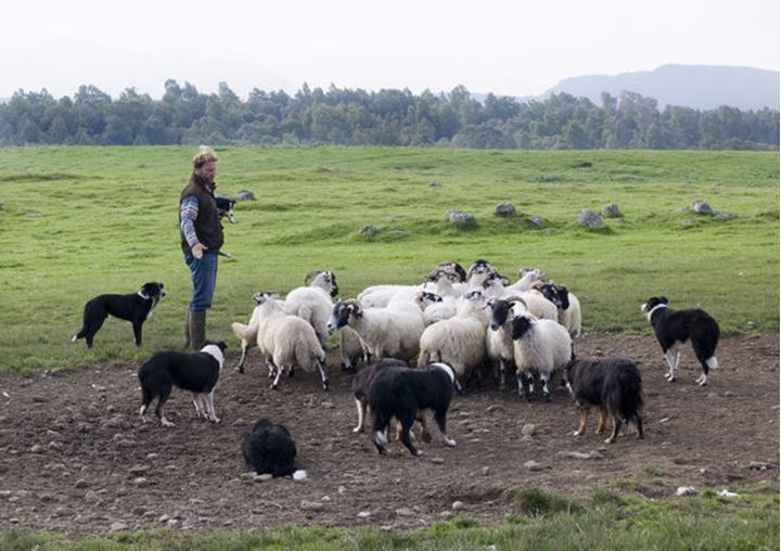 A farmer works with his sheepdogs, Scotland (Skottland), no model release