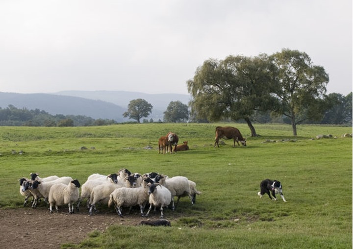 A border collie dikes a group with sheep, Scotland (Skottland)