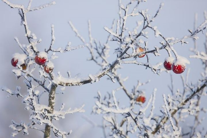 Apples in a frosted apple tree.