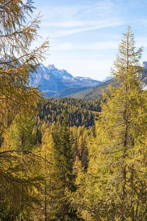 Larch trees in Autumn colors in the Alps