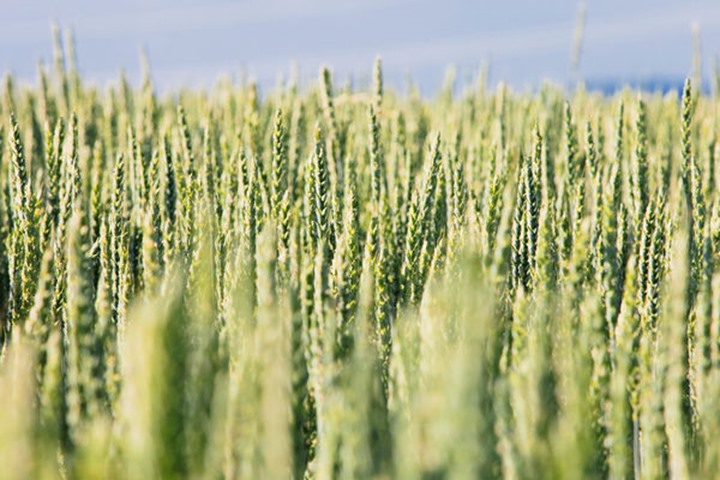 Field Of Wheat with Ripening Green Ears