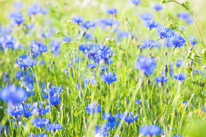 Cornflowers on the Meadow at Spring