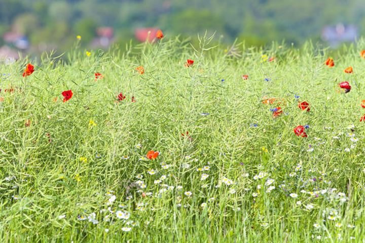 Wild Flowers on the Meadow at Spring