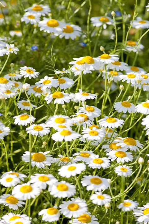 Daisies on the Meadow at Spring