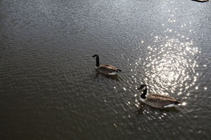 Two Canadian gooses, Sweden.