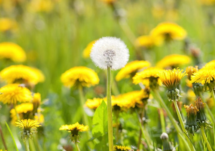 field of blooming dandelion and grass in springtime