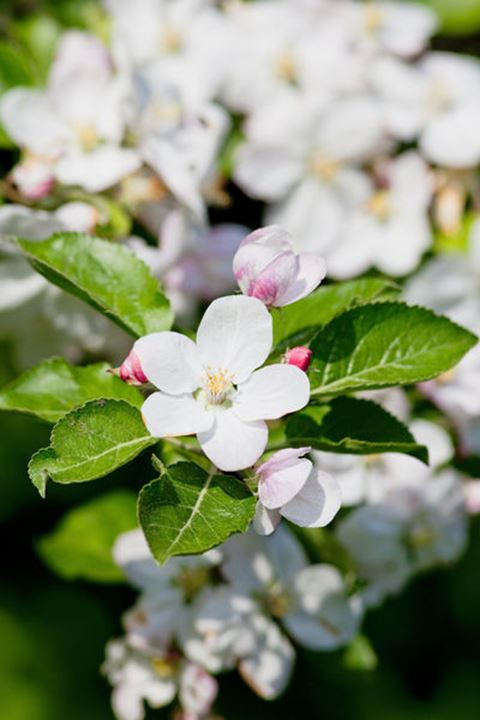 springtime - closeup of apple tree flowers at blossom