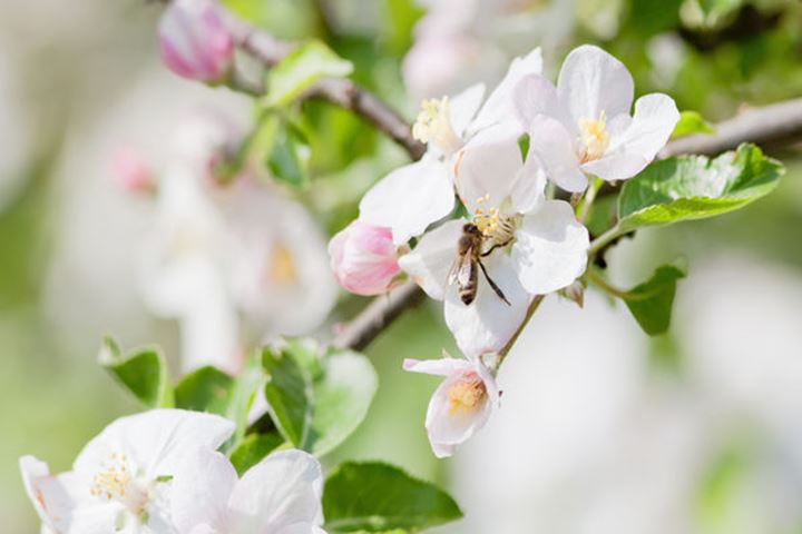 closeup of apple tree flowers and honey bee in spring