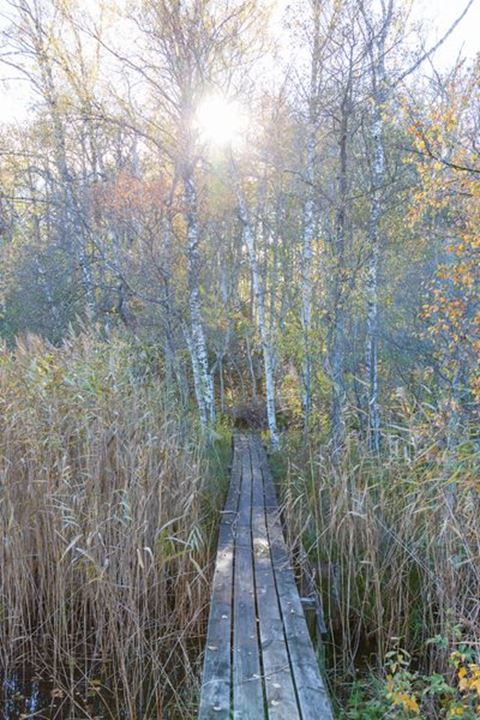 Wooden footbridge through the reeds towards the forest
