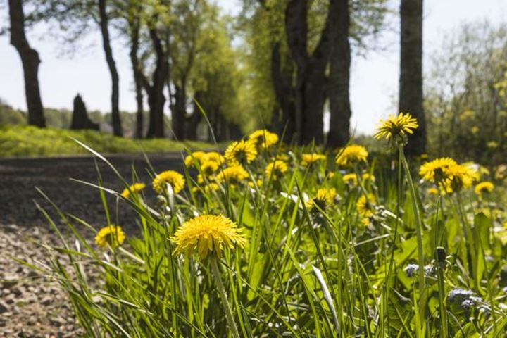 Flowering dandelions on the roadside