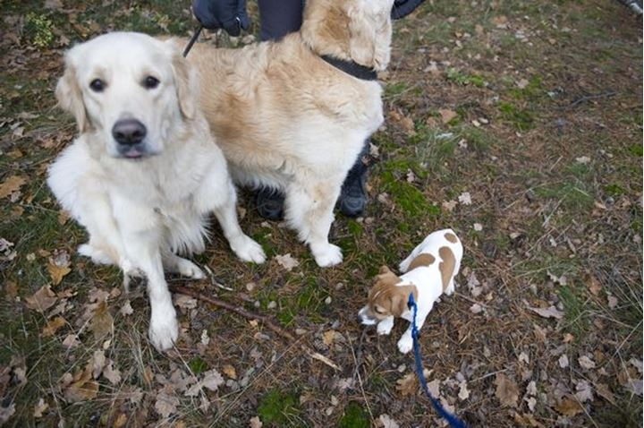 Jack Russell puppy with Labradors, Sweden
