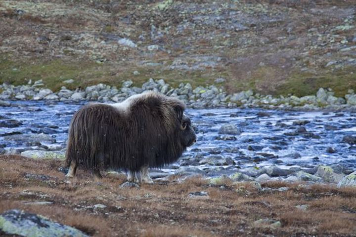 Myskoxe, Ovibus moschatus, ko, back, Dovre fjall, Sunndalsfjalla National Park, Norge, Muskox, female, crossing river, Norway