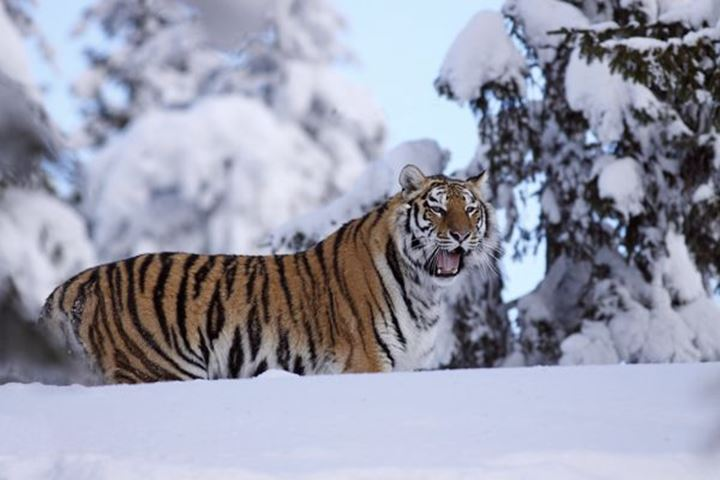 Siberian tiger (Panthera tigris altacia) in the snow, Dalarna, Sweden