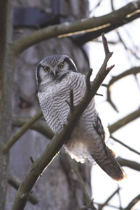 Northern Hawk Owl (Surnia ulula), Sweden