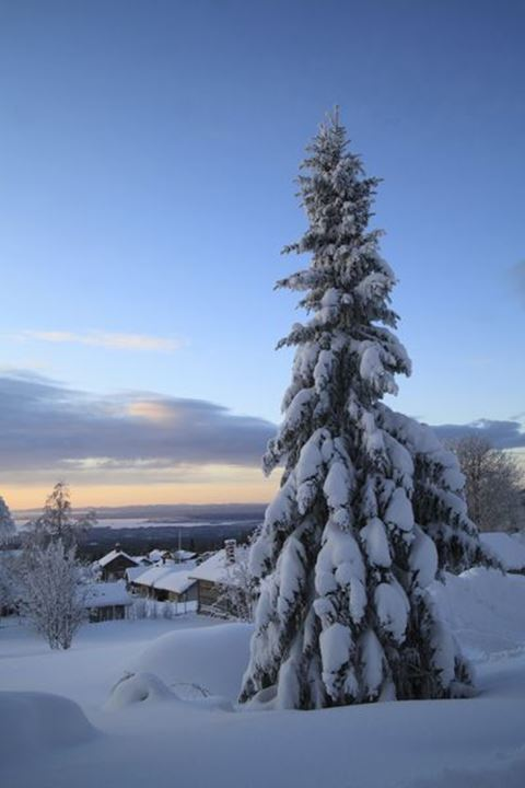 Snow covered tree in Dalarna, Sweden