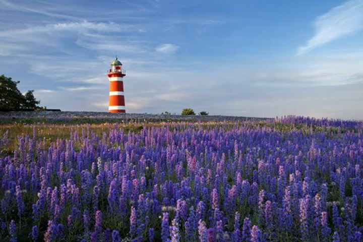 Field of lupines close to lighthouse, Gotland, Sweden