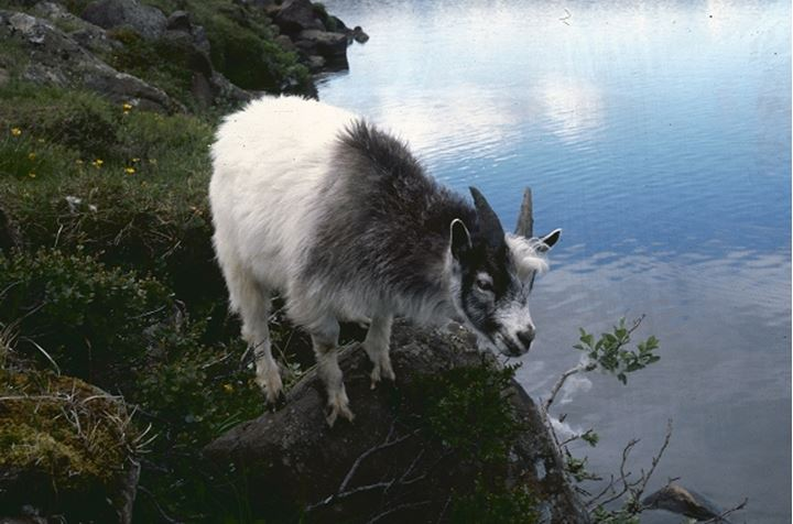 A goat standing on a rock by a lake