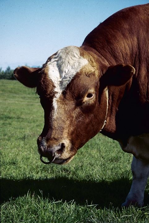 Close-Up of a bull on a field