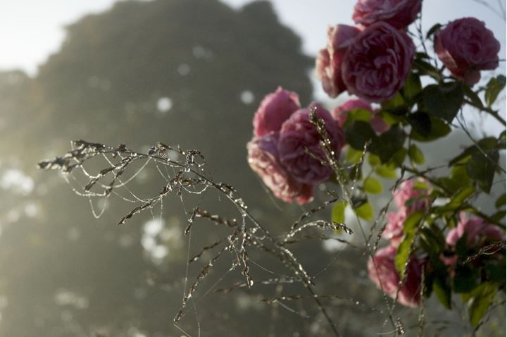 Roses and spider's web in the garden, Jardin d'Angelique, Normandy, France