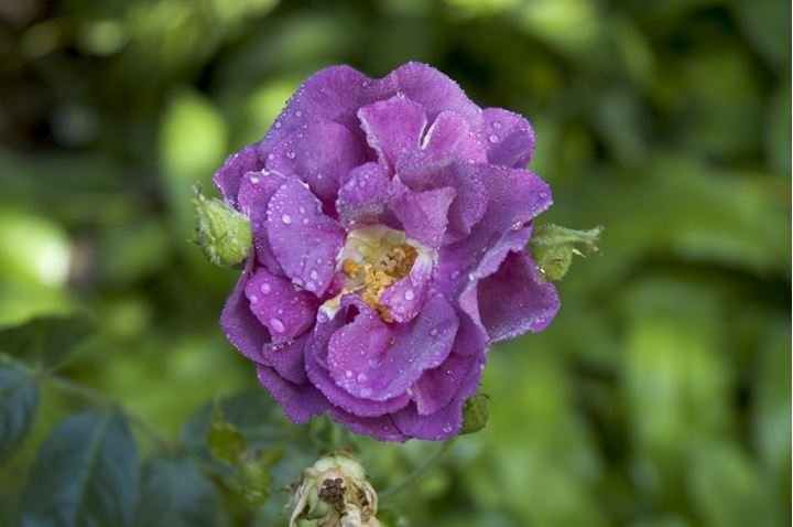 Rose with drops of dew, Normandy, France
