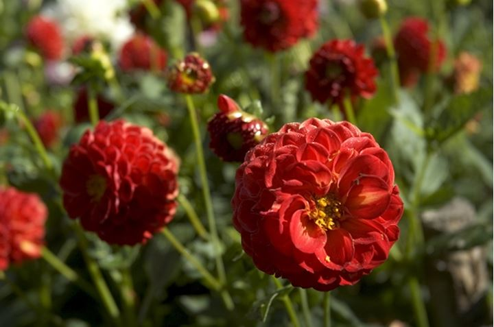 One of red flowers