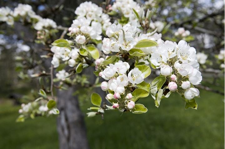 Blossoms on fruittree