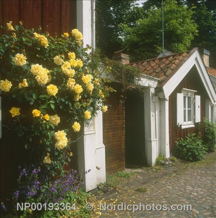 A bush of yellow roses at a country street