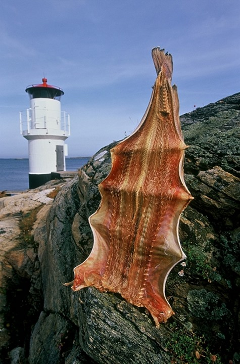 An animal skin drying on rocks with lighthouse