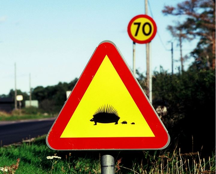 Porcupine crossing, Sweden.