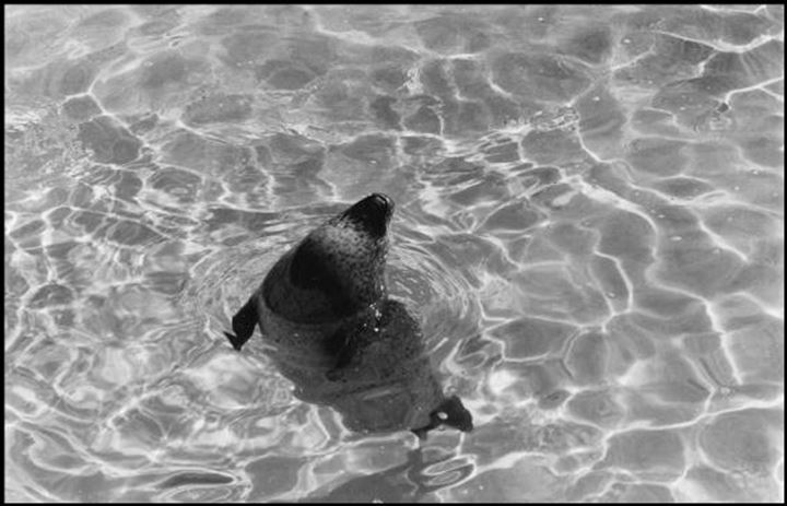 Seal sticks his head up out of the water