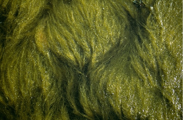 A close-up of seaweed