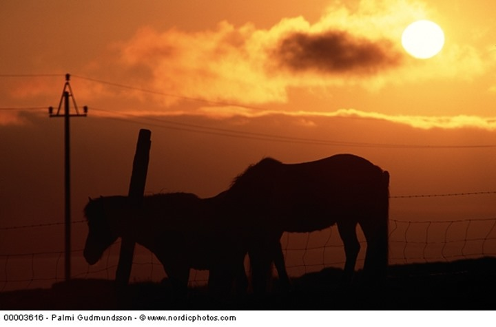 Silhouette of two horses standing below power lines at sunset.