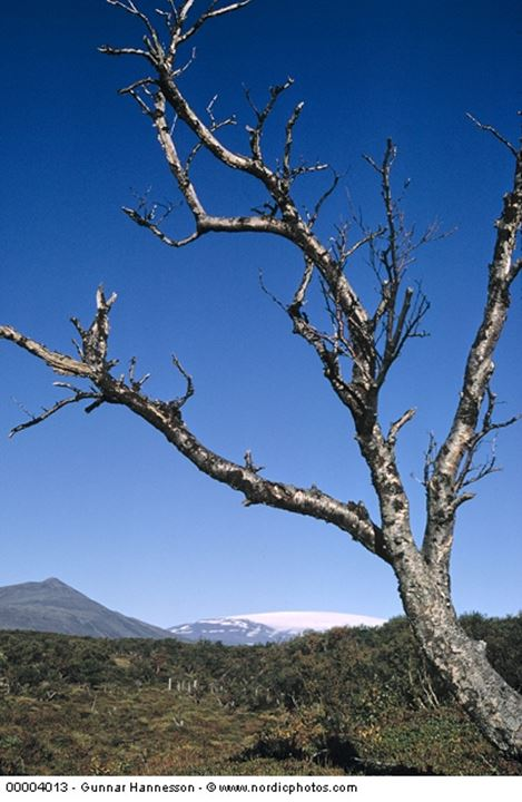 Close up of a bare tree, some trees behind it and a mountain in the distance.