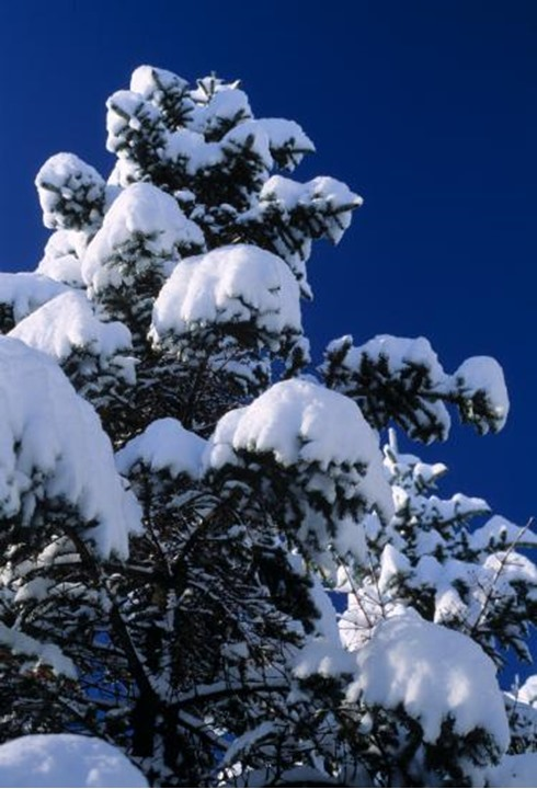 Looking up a pine tree covered with snow.