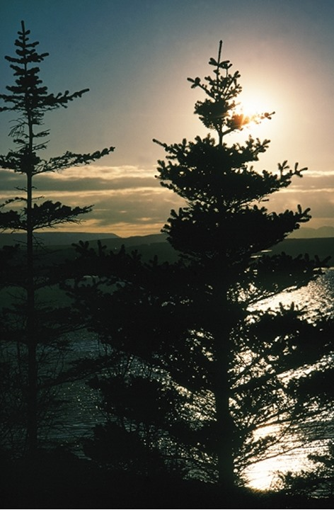 Iceland - Silhouette of pine trees at dawn