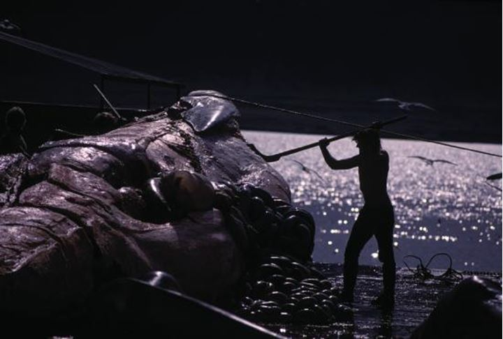 One man cutting a whale at a whaling station.