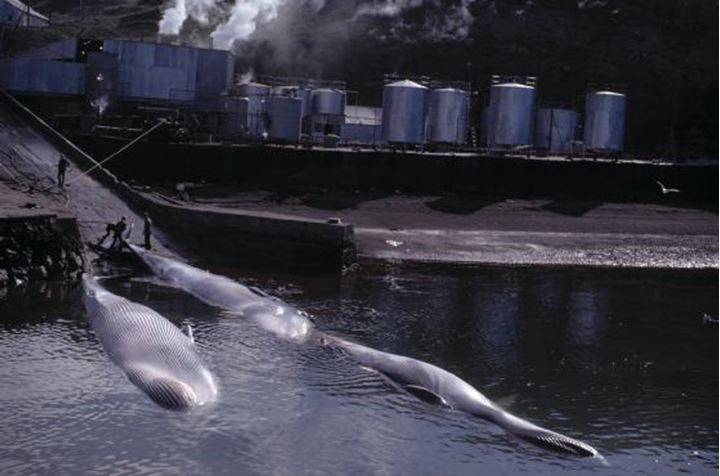 Men working at a whaling station, three whales about to be worked on.