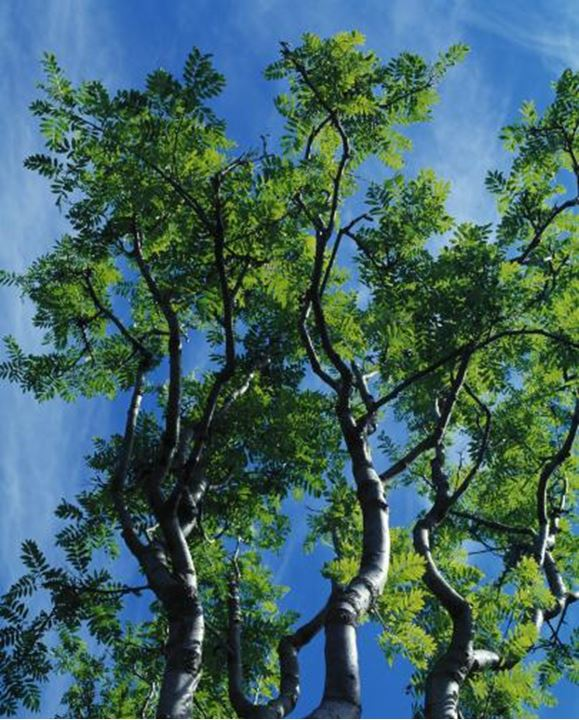 Green leaves on treebranches and blue sky behind. Iceland