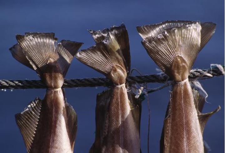 Tails of fish hanging to dry