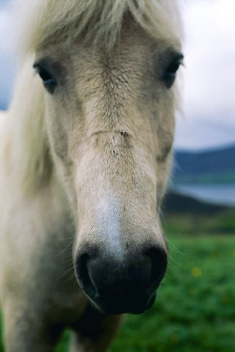 Portrait of a horse, looking closely at camera. Iceland