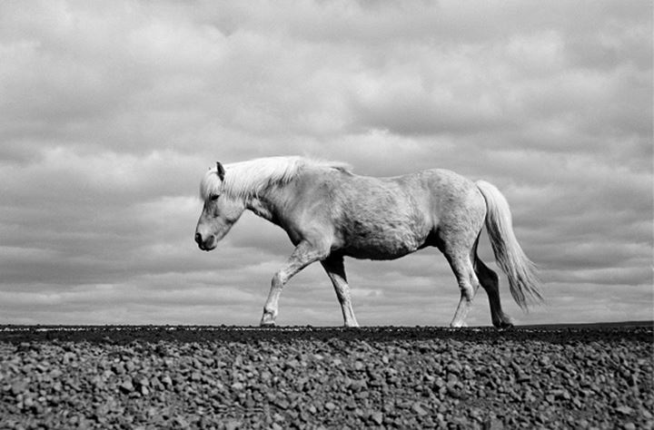 An Icelandic horse walking on gravel road, cloudy sky in background