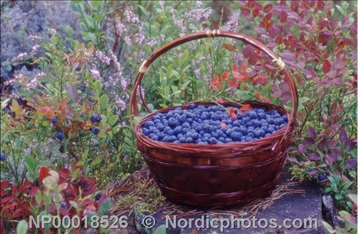 A basket full of blueberries among flowers in a field,Kungsor(Kungsör)