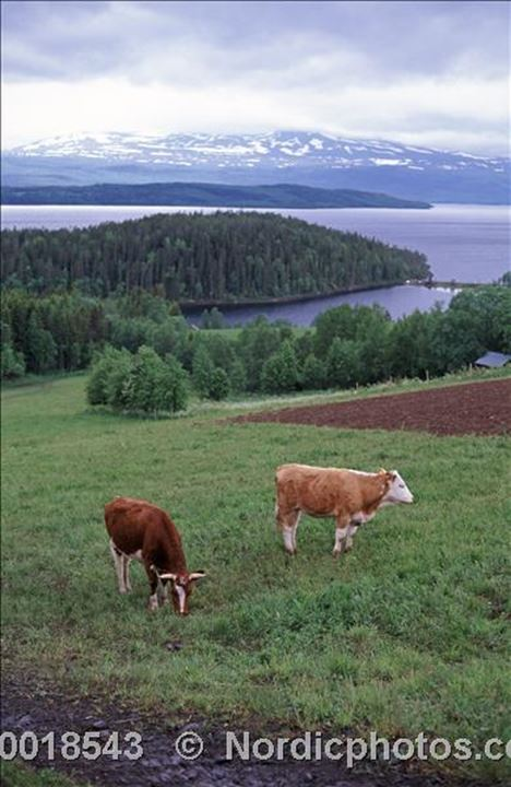 Two cows in a field, bushes and a fjord in background.Kall,Jamtland(Jämtland)