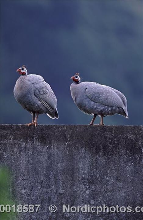 Two pearlhen,Azores Island