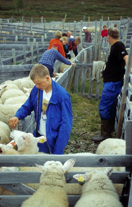 People picking their sheep from the herd.